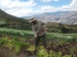 One of Kiwa's small farmers tending the fields in a rural area outside of Quito, Ecuador.